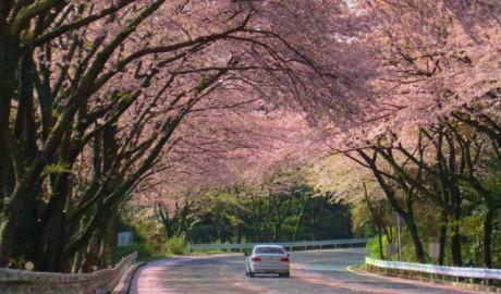 ターンパイクの名物「桜のトンネル」
