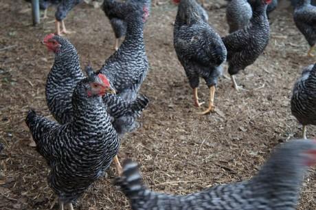 自然あふれる環境の中で元気に育つ鶏