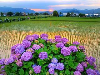 約5000株のアジサイが咲き誇る開成町