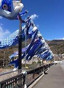 舞い上がれ大空に「青い鯉のぼり」 今年も箱根・宮城野の大文字橋に