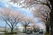 秦野市で桜の競演 丹沢の山と富士山を背景に
