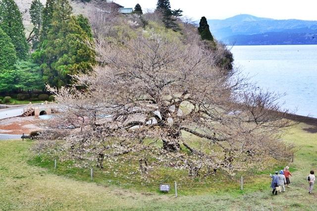「湖畔の一本桜」昨年の様子(撮影=高橋和久)