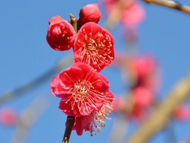 小田原フラワーガーデンで「梅まつり」 見頃早まり2月に梅の競演