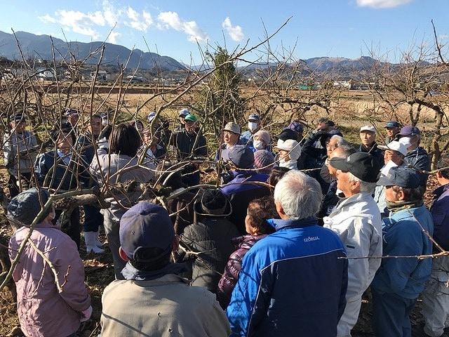 南足柄地域で柿の剪定作業進む 良い品質のため「重要な作業」