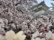 城下町・小田原の桜が「春爛漫」 まもなく桜吹雪と花いかだ