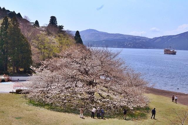 5本が力を合わせて「一本桜」として咲き誇る姿(撮影=高橋和久、2015年)