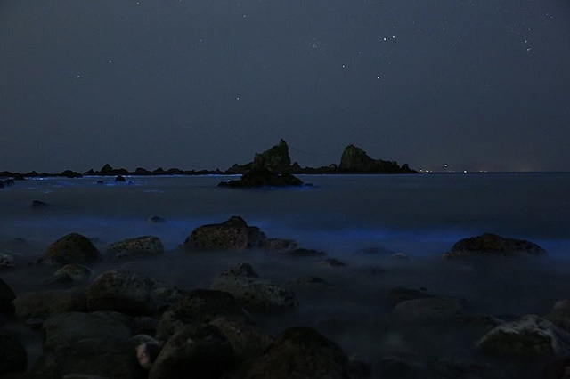 真鶴半島の先端にある「三ツ石」付近で青く輝く「夜光虫(ヤコウチュウ)」(撮影=村田知章さん)