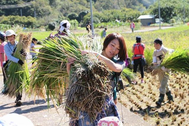 稲刈り(昨年の様子)