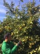 「湘南ゴールドエナジー」に新アイテム 早期収穫の果実を使用「ハヤヅミ」発売