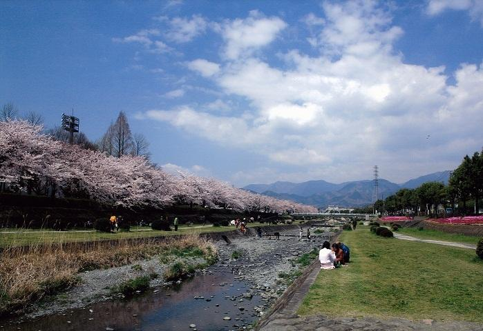 ソメイヨシノ、おかめ桜、しだれ桜など約600本の桜が約3.5キロメートルに渡って水無川沿いに咲く