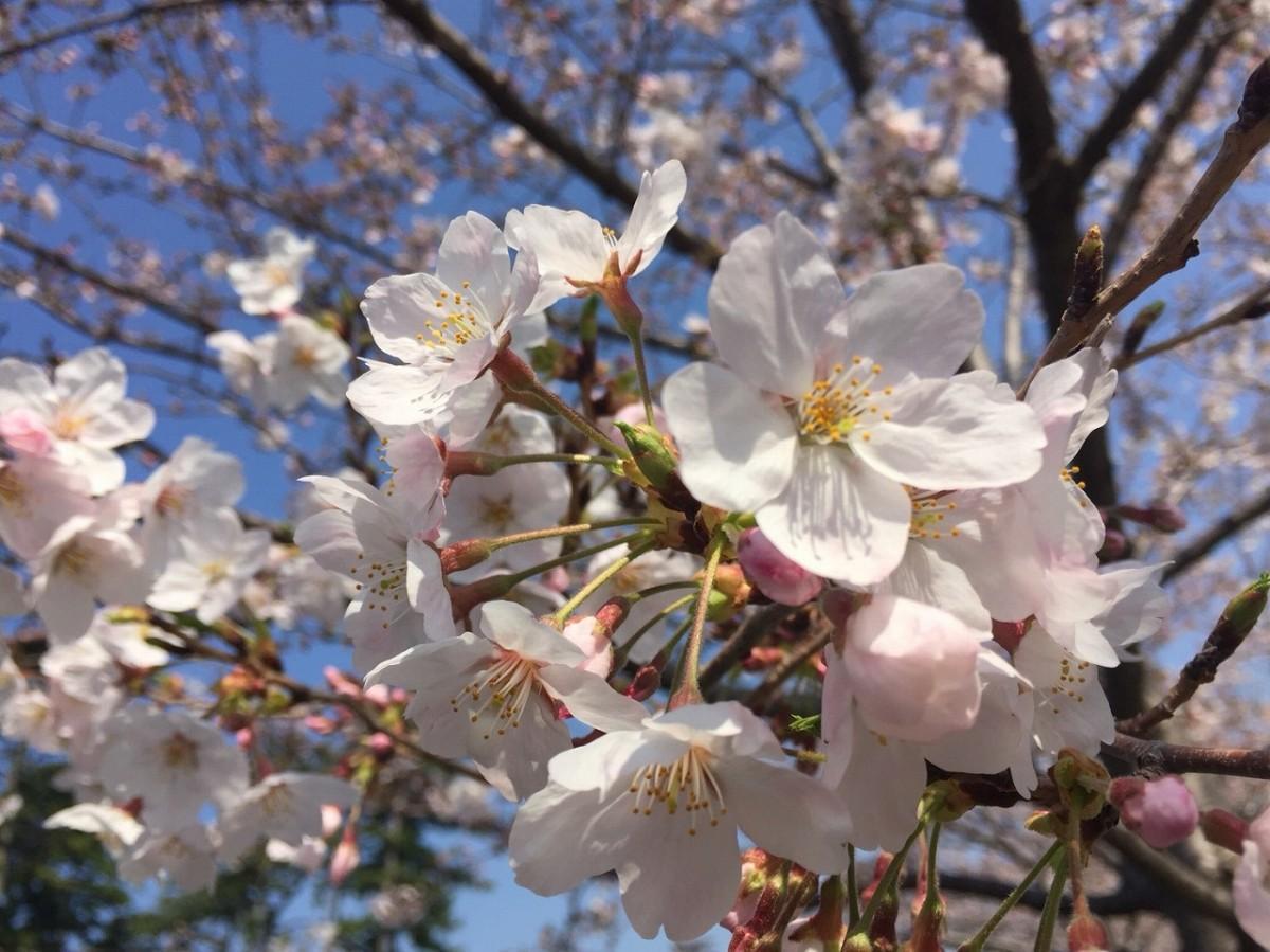 満開となった小田原城址公園の桜