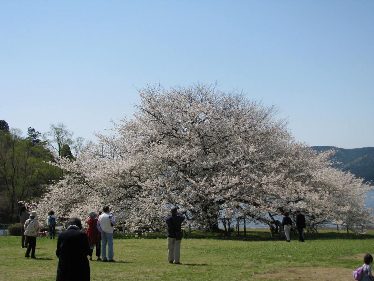 箱根園「湖畔の一本桜」(撮影=2017年4月28日)