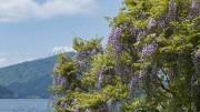 箱根・芦ノ湖畔の藤棚がライトアップ 薄紫の花が夕暮れに映え評判に
