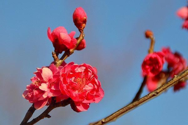小田原フラワーガーデンの「渓流の梅園」で梅まつり