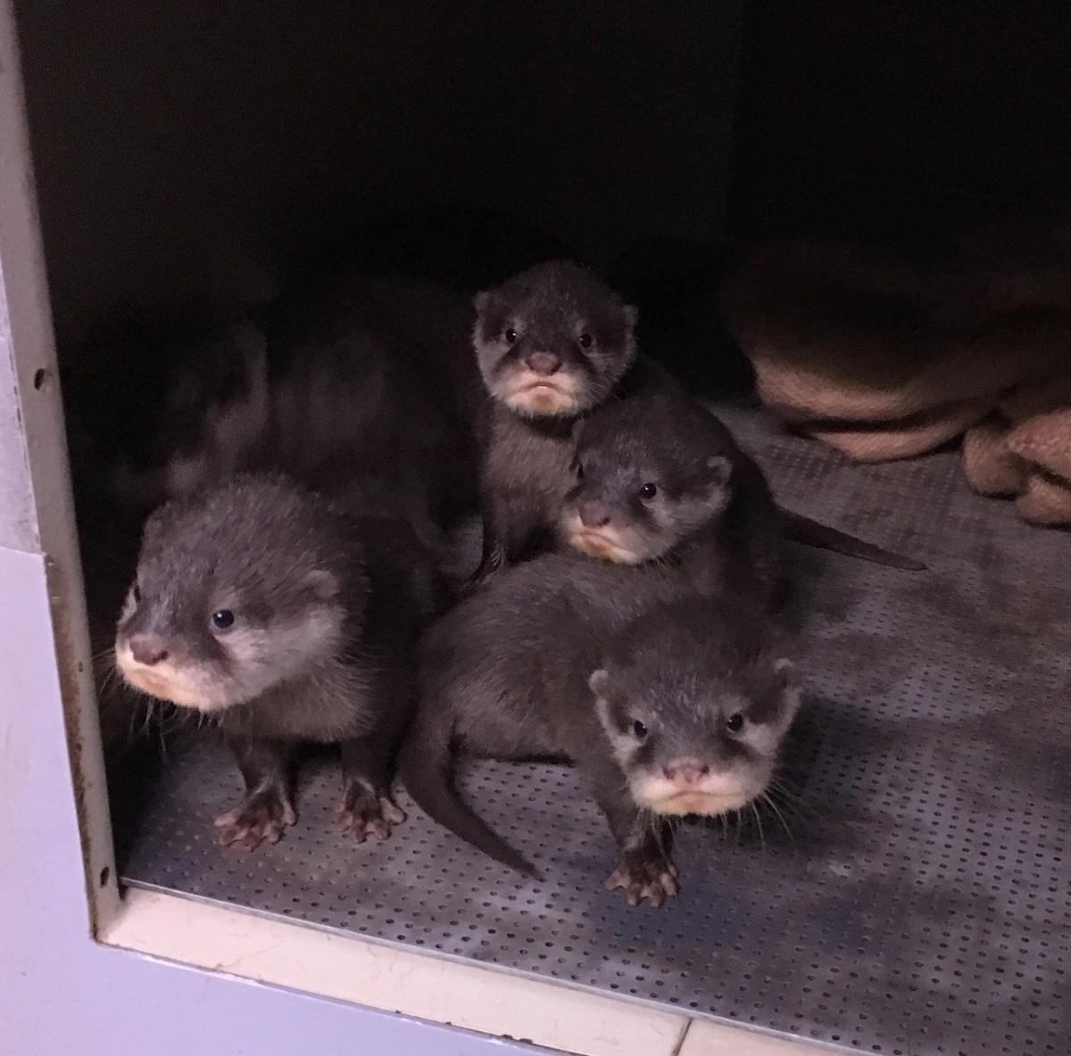 12月18日に生まれた4匹のかわいい「コツメカワウソ」