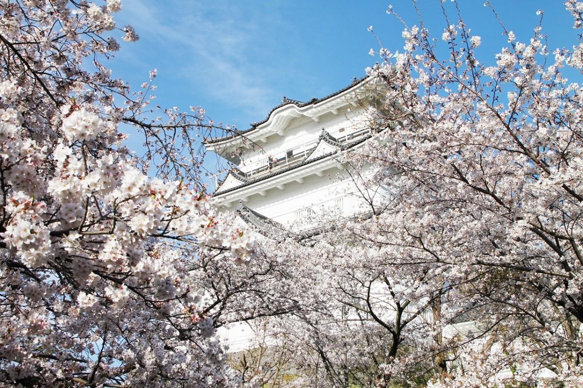小田原城と桜の競演(撮影=松下善彦)