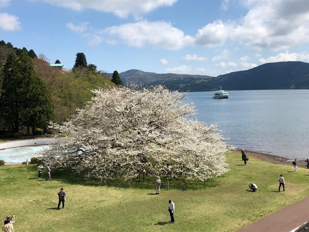 箱根園のランドマーク「湖畔の一本桜」(樹齢100年前後、枝張り22メートル、幹回り5メートル、樹高12メートル、幹回り70メートルの威風堂々とした樹勢)