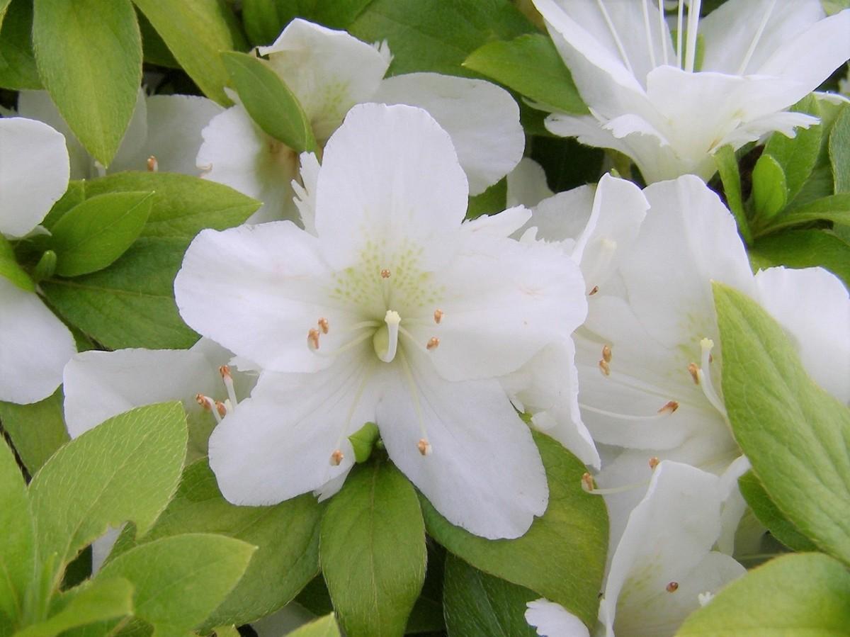 縁が不規則に切れ込んだ二重咲きの白い花が特徴の「白錦」