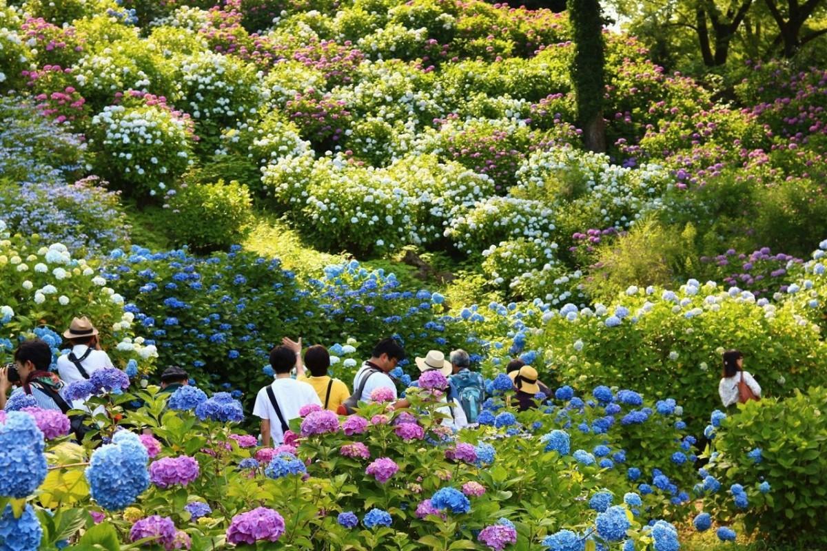 小田原城本丸の斜面に、セイヨウアジサイ(西洋紫陽花)や日本に自生するガクアジサイ(額紫陽花)など2500株のあじさいが咲く