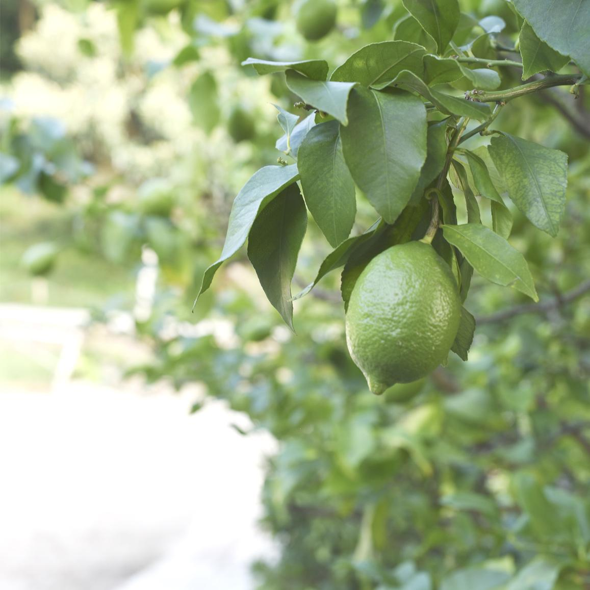 江之浦産の「グリーンレモン」をテーマに「江之浦柑橘山市庭」