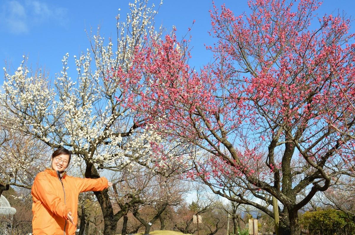 「1月31日現在、7分咲きから満開の梅が多く見頃」と呼び掛ける小田原フラワーガーデンの中西七緒子さん