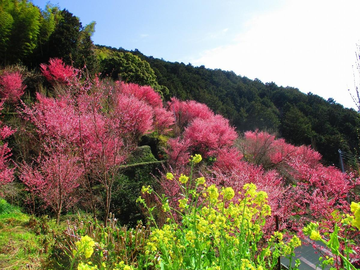 満開を迎える「おかめ桜」(「きのこ苑 お山のたいしょう」園内)