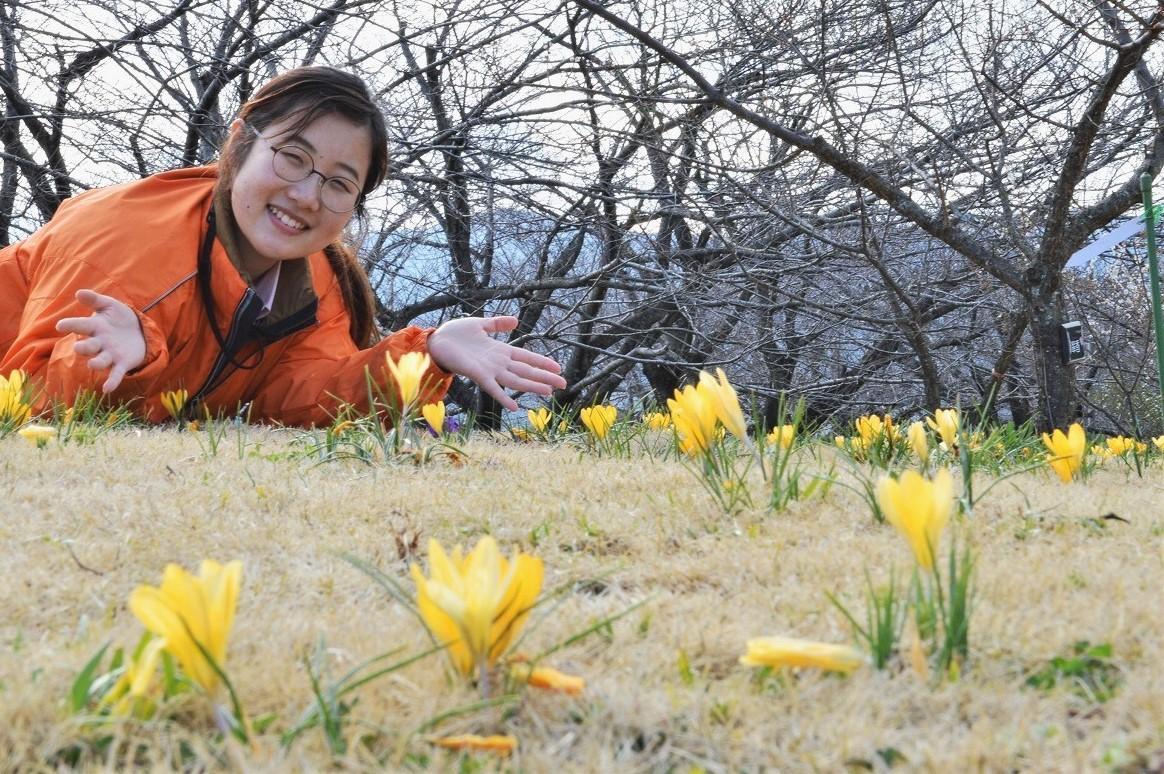 早春に地上すれすれに咲く「クロッカス」と小田原フラワーガーデンの中西七緒子さん