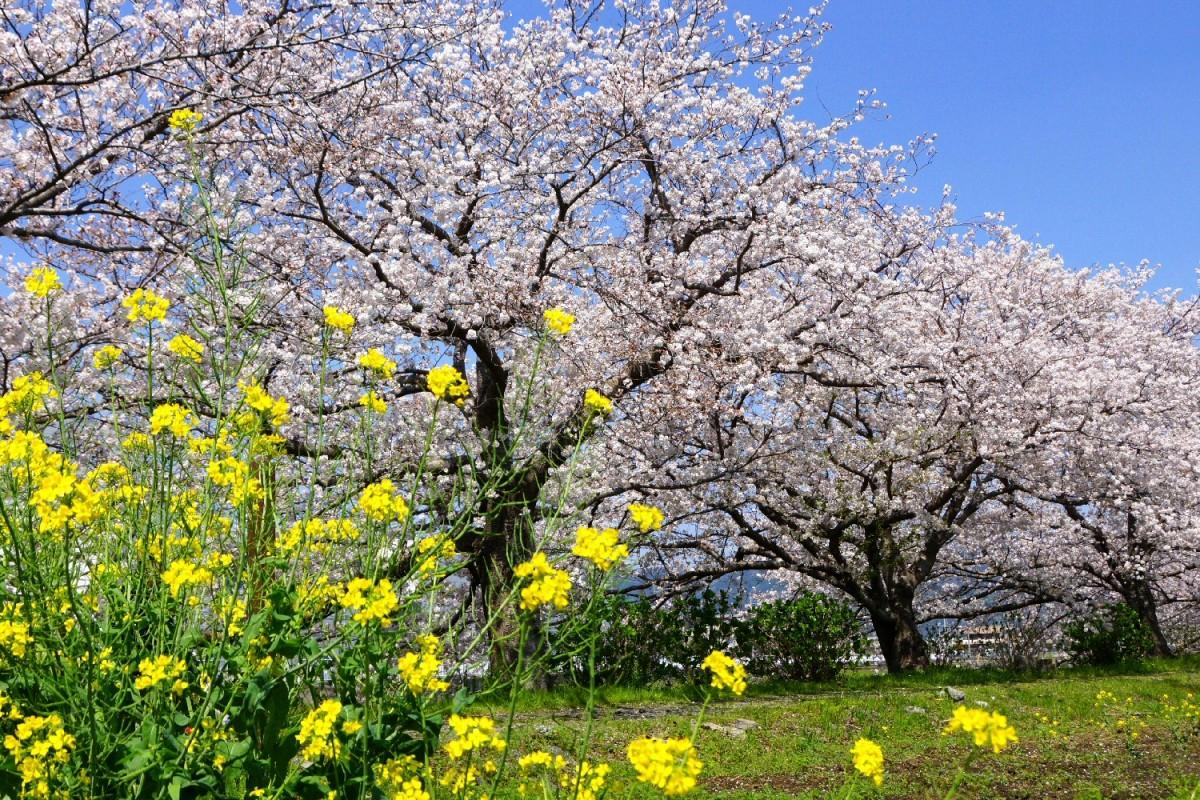ソメイヨシノと菜の花の競演が楽しめる「富士見の桜土手」(撮影=小澤宏さん)