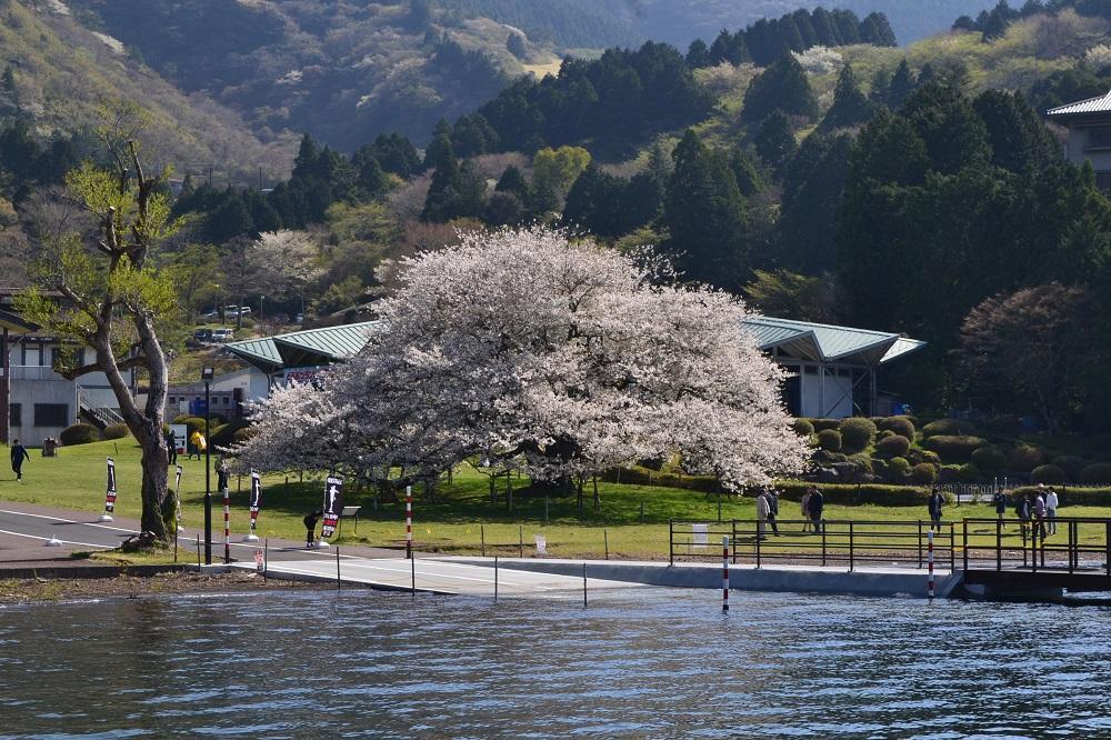 芦ノ湖から眺める湖畔の一本桜