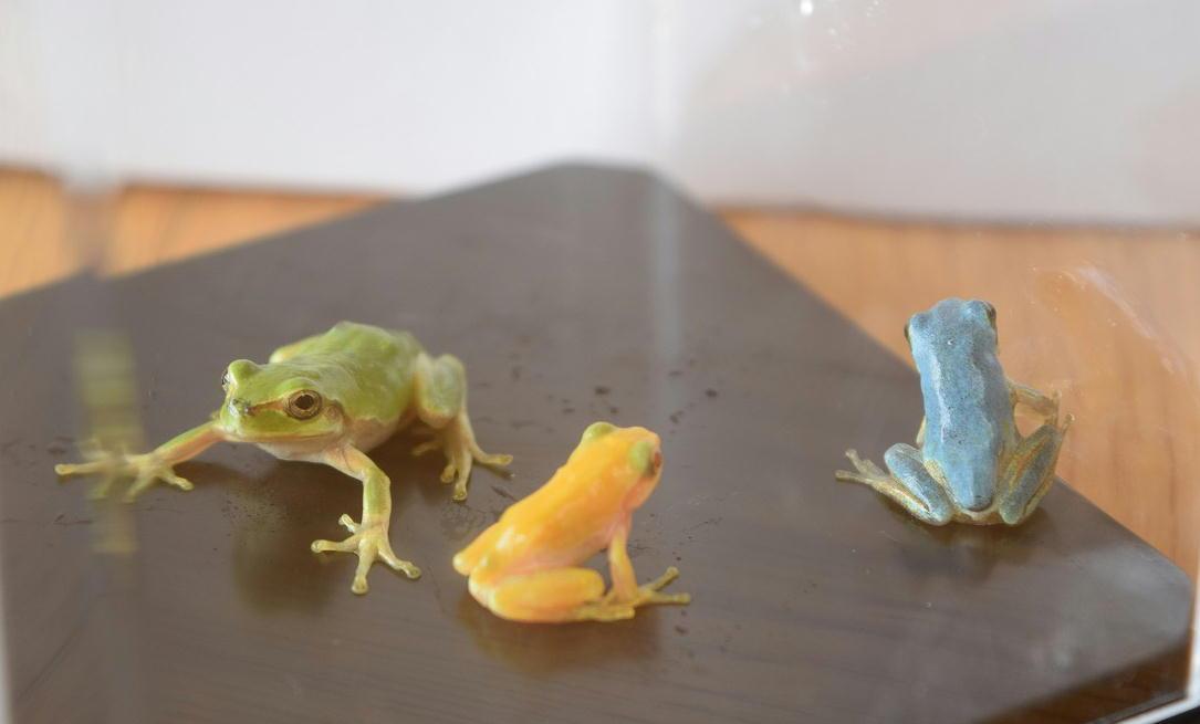 金色(中央)と水色(右)のニホンアマガエル。左の緑色は通常のニホンアマガエル(写真提供=開成町)