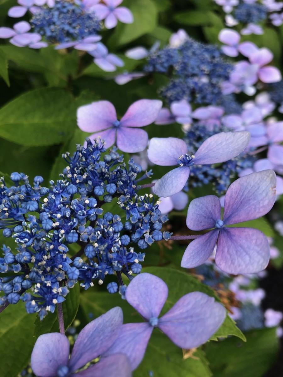 箱根・芦ノ湖畔で咲き誇るアジサイ