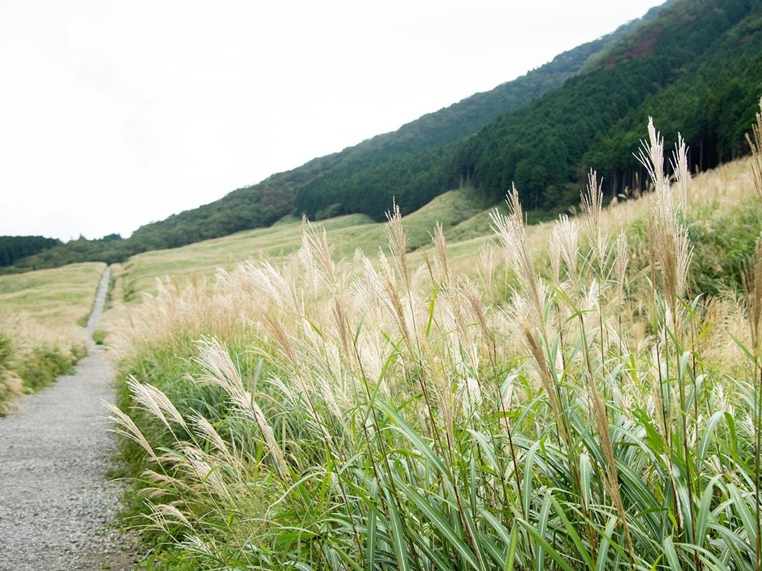 初秋の風に揺れる箱根・仙石原のススキ