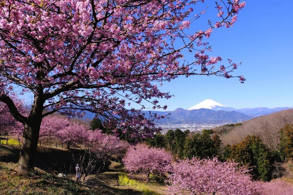 「おおいゆめの里」から見る富士山と桜(撮影=小澤宏さん)