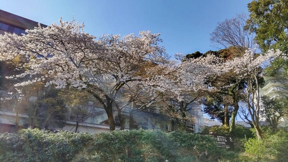 満開の湯本富士屋ホテルのソメイヨシノ