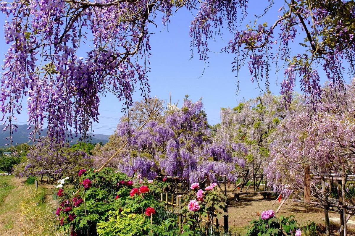 南足柄市千津島にある長井清高さんの庭に咲く7種類40本の藤が見頃を迎えた(撮影=2021年4月20日・小澤宏さん)