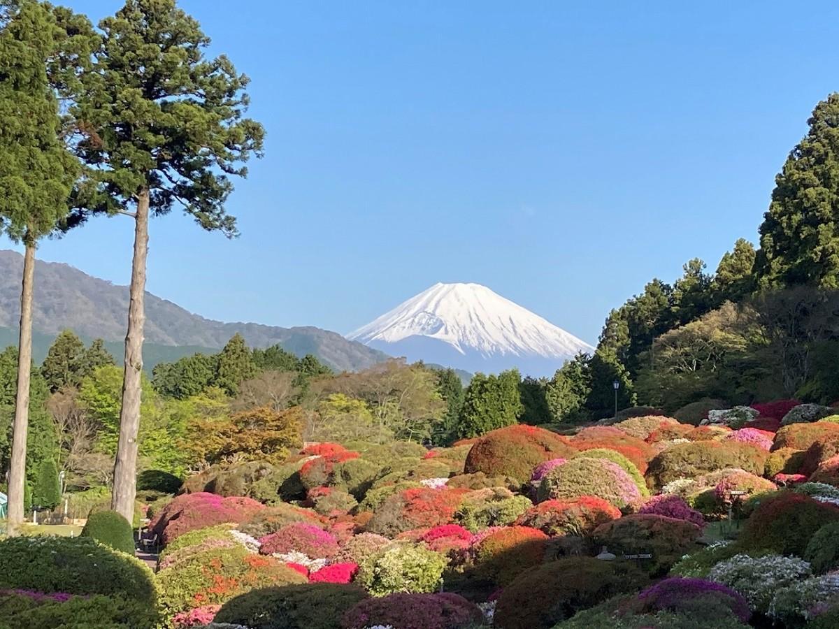 富士山に向かって植栽されたツツジ