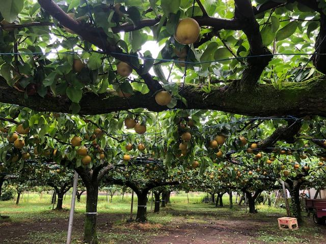 約90アールの農園で「小田原梨」を栽培。果肉を味わう「幸水」と、果汁を楽しむ「豊水」の2品種を栽培している水野農園(撮影=松下善彦)