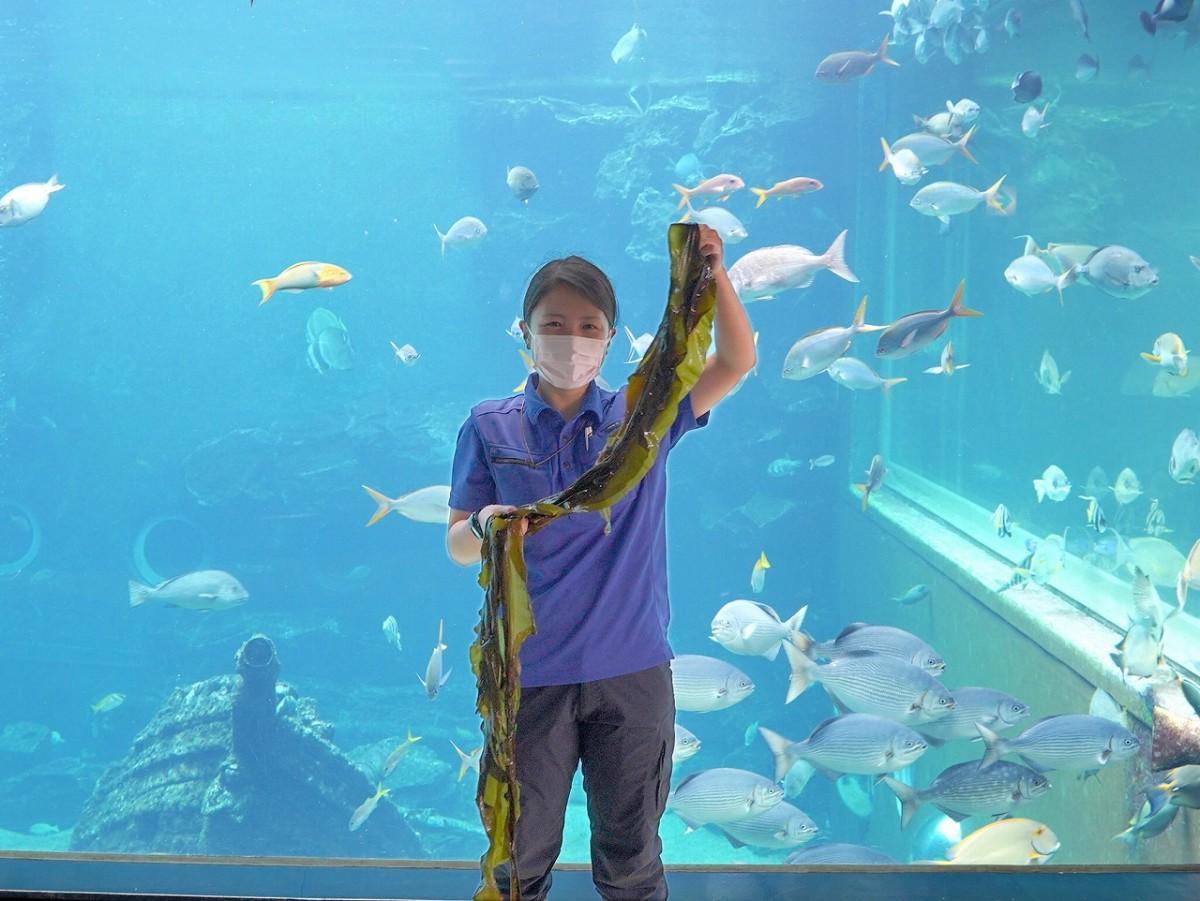 アオウミガメの餌として「里海イニシアティブ」から提供された昆布を持つ箱根園水族館の小杉智花さん