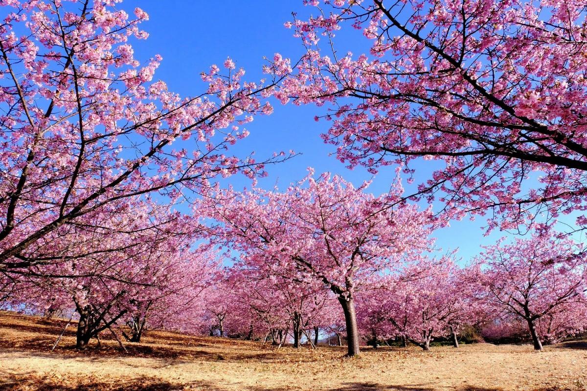 おおい ゆめ の 里 おおいゆめの里 早咲桜開花状況 - 神奈川県大井町ホームページ