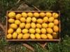 小田原でイタリアンシェフがレモン栽培に挑戦 料理に合うレモン作り目指し