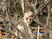 大分・吉野梅園で「臥龍梅」間もなく見頃に 臥龍梅の梅干し限定販売も