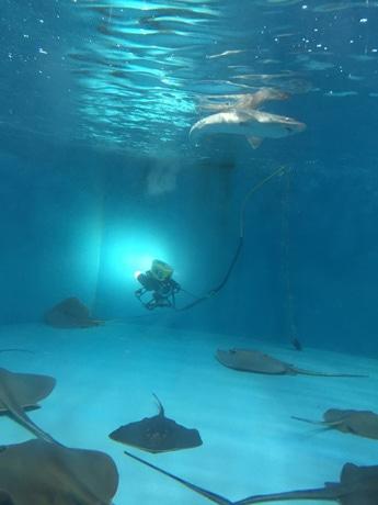 うみたまごの水槽内で操作される海中ロボット