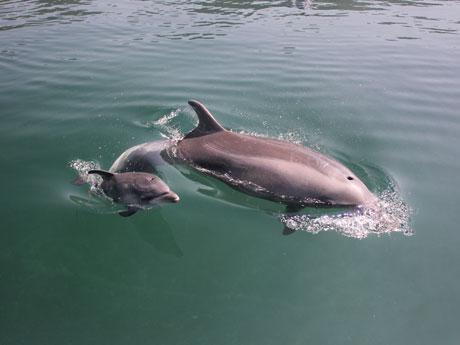 5月14日に出産したバンドウイルカの「サキ」と赤ちゃんイルカ