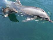 大分・つくみイルカ島で誕生したバンドウイルカの名前公募 命名式も
