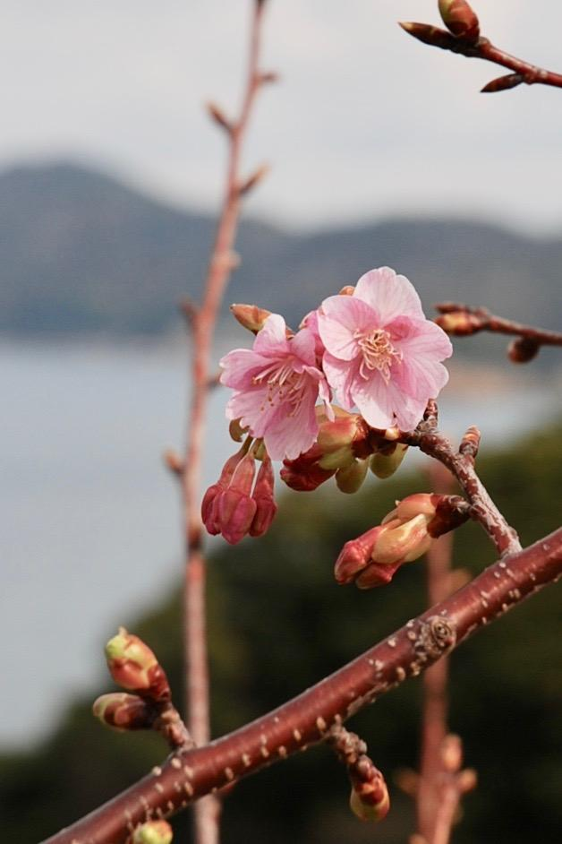 四浦半島の海沿いに咲く河津桜