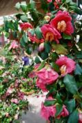大分農業文化公園で「椿まつり」 開花ずれ込みこれから見頃