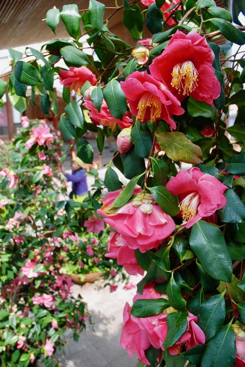 【さまざまな種類の花が咲き誇る室内の「椿花咲苑」】