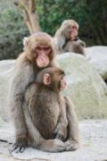 大分市の高崎山自然動物園 もうすぐ生まれる赤ちゃんザルの名前募集
