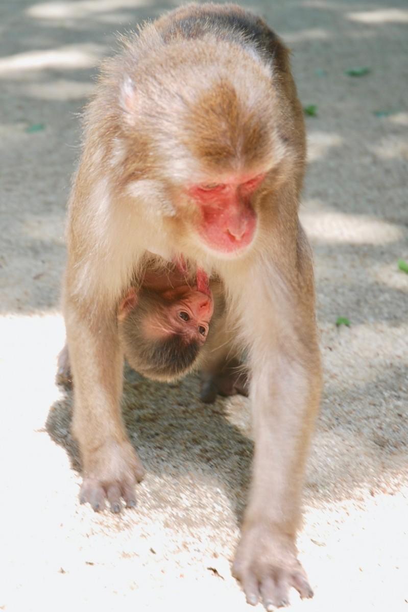 ダンダンの乳を飲む赤ちゃんザル