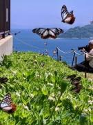 大分市の関崎海星館にアサギマダラ 新設フェイスブックに飛来情報も